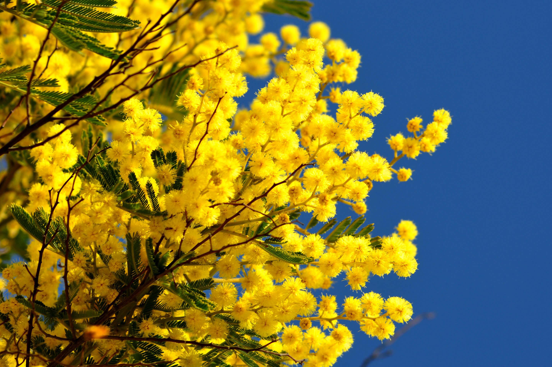 mimosa nexira