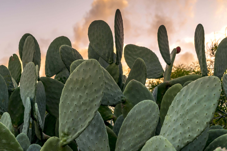 cactus nexira