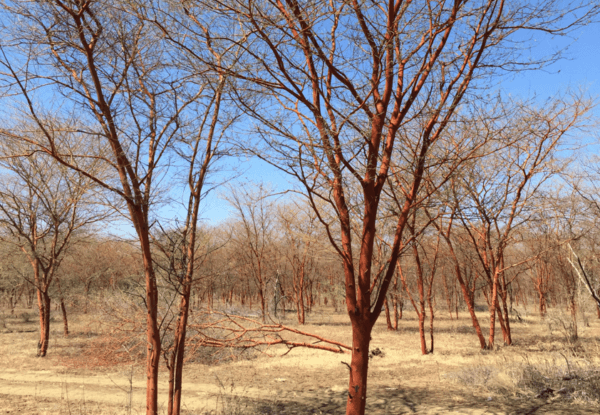 nexira acacia forest