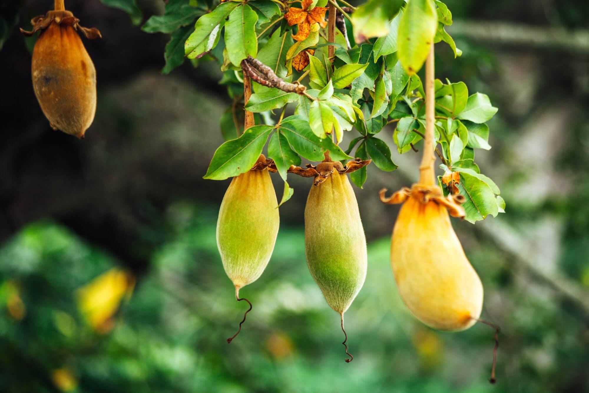 inavea baobab acacia